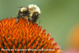 Bee on Echinacea by Kathrin Woodlyn Bateman